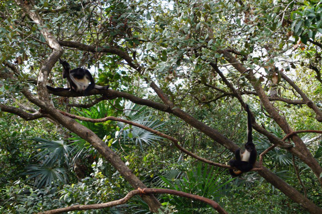 Belize monkey