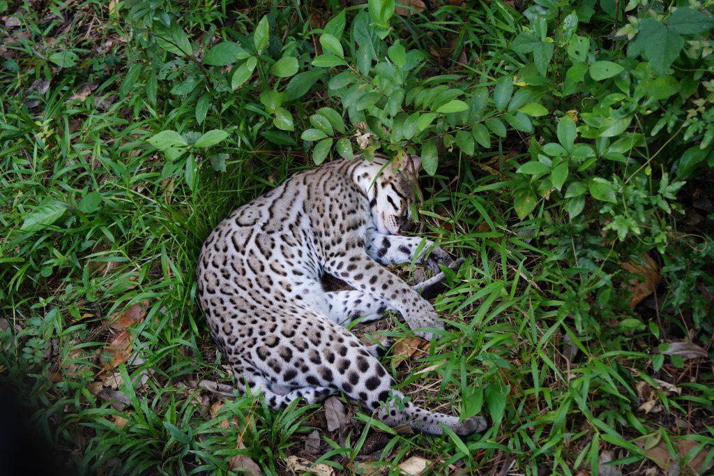 Belize jaguar sleeping