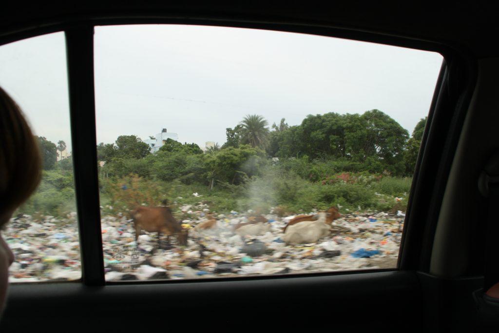 Vaci peste tot la marginea strazii si mult, mult gunoi...
