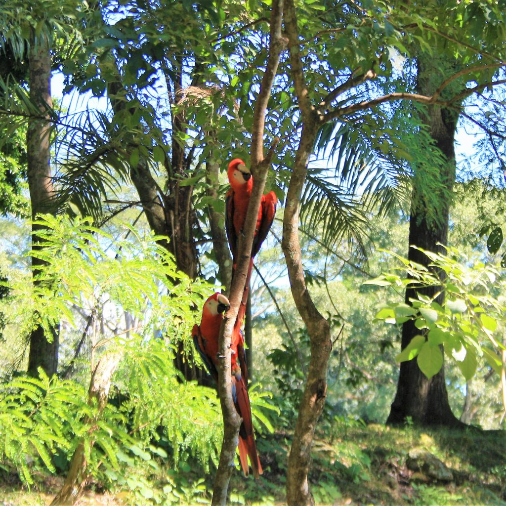 Papagali imensi si colorati in jungla din Hoduras