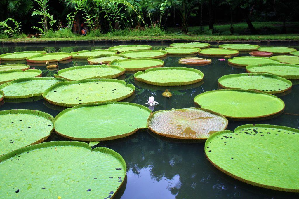 Mauritius - gradina Botanica cu nuferi uriasi