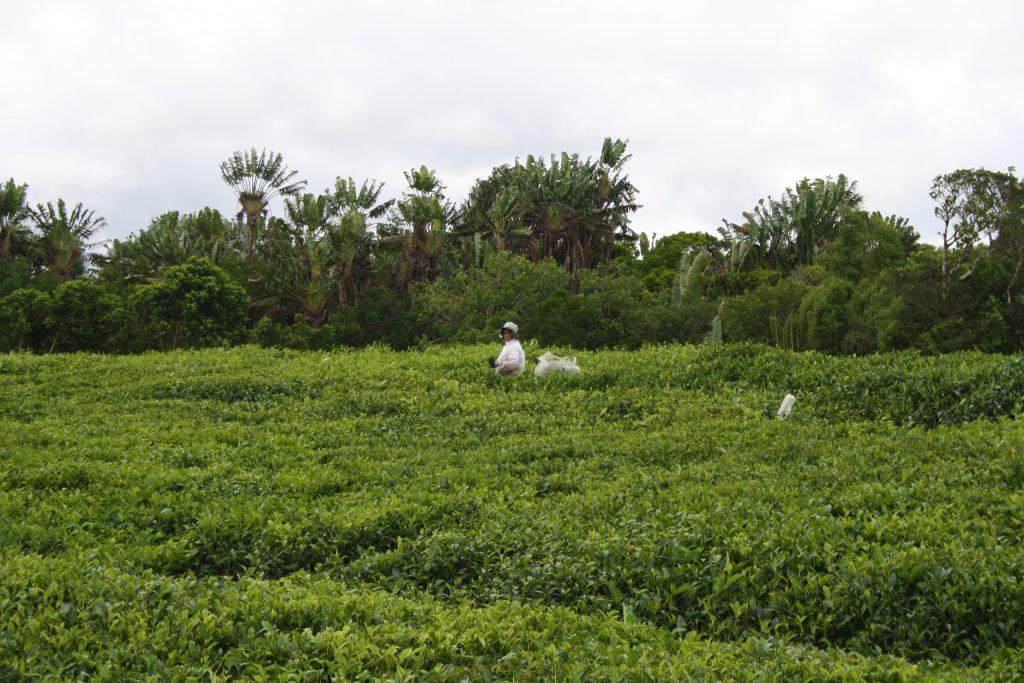 plantații de ceai
