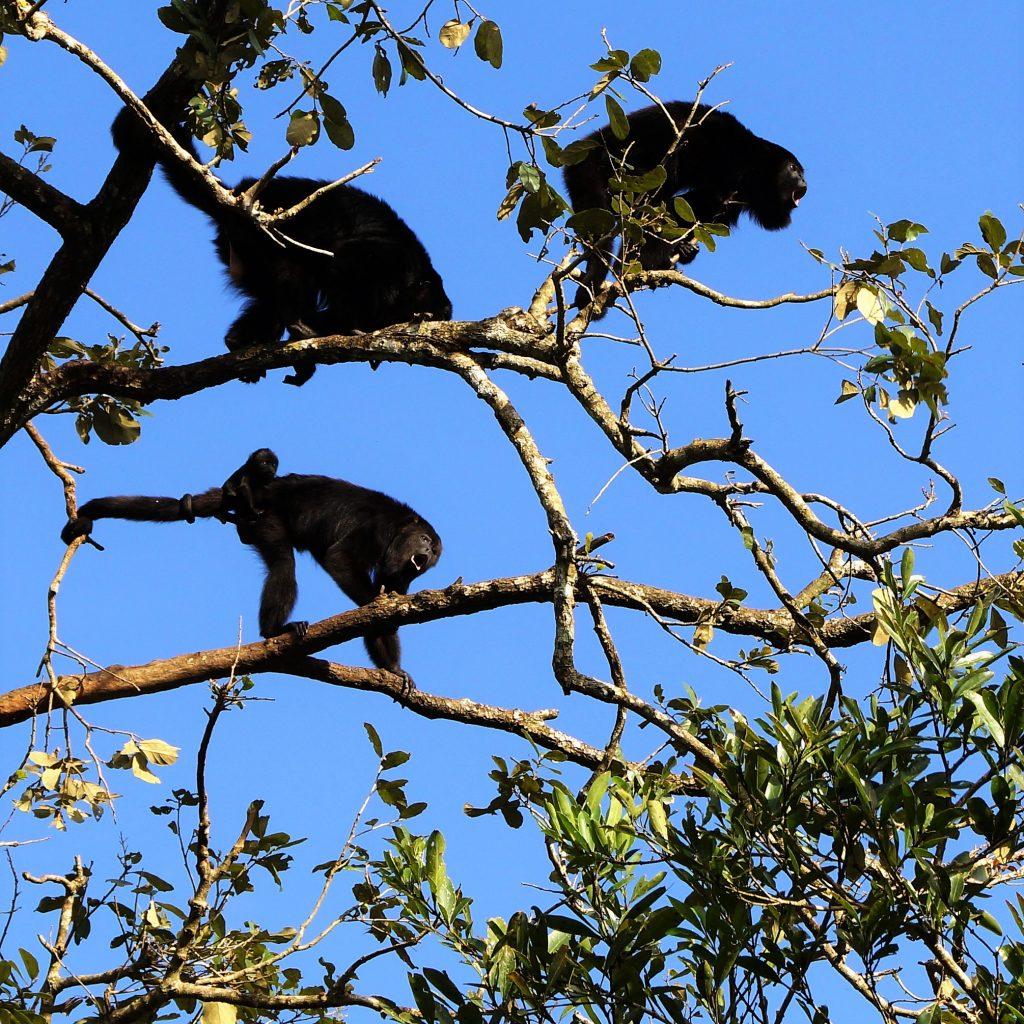 Maimute urlatoare racnesc ca niste dinozauri