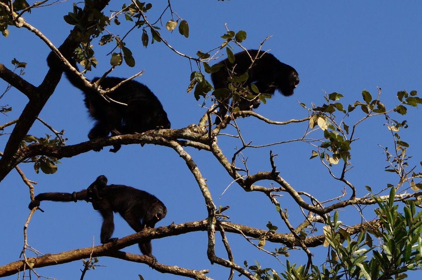 Guatelama - maimute in jungla
